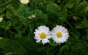 Picture flowers, two, chamomile, garden