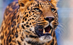 Picture face, leopard, is, leopard, looking up