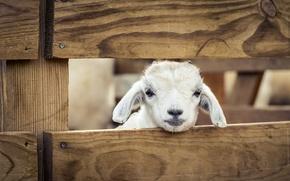 Picture sheep, Morocco, Zoo de Temara, The Lucky Lamb, Rabat