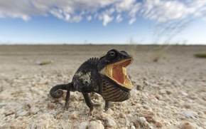 Picture Namibia, Chamaeleo Namaquensis, Chameleon, Namib-Naukluft, Namib Desert