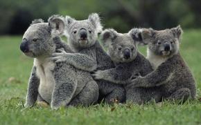 Wallpaper animals, grass, nature, animals, Koala, marsupials bears