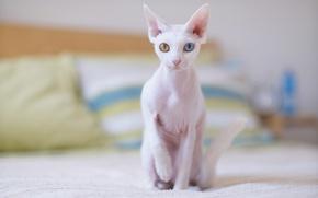 Wallpaper cat, white, rangesa, Cornish Rex, pillow, pale, bed, cat