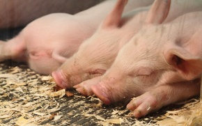 Picture sleeping, the barn, pigs