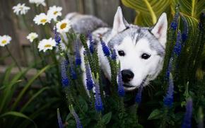 Wallpaper summer, face, flowers, dog, garden, puppy, flowerbed, husky, breed, Siberian husky