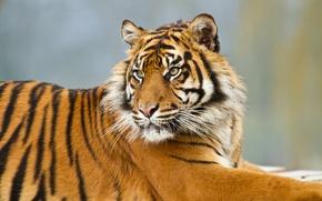 Picture cat, tiger, Sumatran
