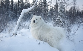 Picture white, snow, trees, background, dog, Samoyed, Samoyed, The Samoyed