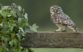 Picture owl, the fence, log, ivy, Liana