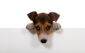 Picture dogs, white, background, wall, Wallpaper, dog, paws, puppy, dog.
