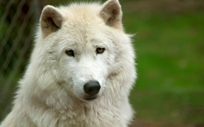 Wallpaper white wolf, wolf, white, face, look