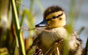 Picture bird, baby, duck, duck