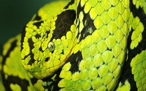 Picture snake, Python, unusual, striped