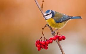 Picture berries, bird, branch, Rowan, blue tit
