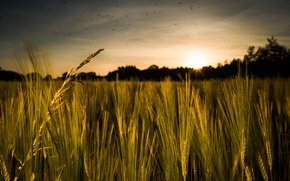 Picture field, grass, sunset, birds, rye, spikelets, cereals