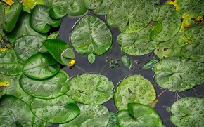 Picture river, water lilies, Croatia, To the Koran, Rainy day