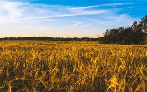 Picture wheat, field, summer, the sky, landscape, blue, harvest, bread