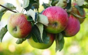 Wallpaper apples, branch, fruit, Apple