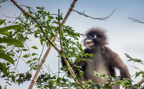 Picture Trachypithecus obscurus, The primacy of, Eyeglass encotel