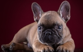 Picture portrait, puppy, bulldog, French