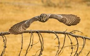 Picture owl, bird, Lapland Owl, great grey owl, Great Grey Owl