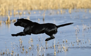 Picture TAIL, DROPS, FLIGHT, WOOL, BLACK, COLOR, SQUIRT, PAWS, POND, LAKE, DOG