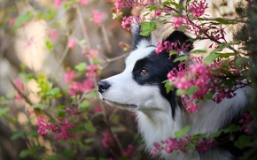 Picture face, flowers, dog, The border collie