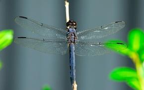 Wallpaper wings, Dragonfly