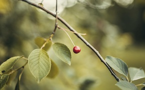 Picture leaves, Red, cherry