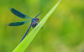 Wallpaper grass, sheet, dragonfly, blue