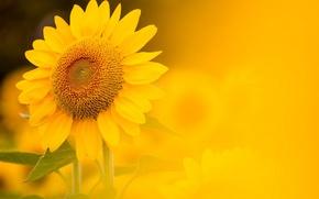 Wallpaper sunflower, background, nature