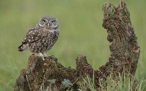Picture grass, look, owl, bird, snag