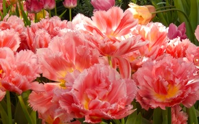 Picture flowers, widescreen, Wallpaper, Tulip, spring, tulips, wallpaper, widescreen, background, the Wallpapers, full screen, HD wallpapers, …