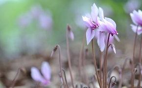 Picture macro, pink, cyclamen