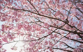 Wallpaper tree, the sun, Sakura, cherry, branches, spring