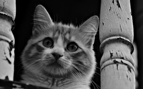 Picture cat, eyes, mustache, look, face, black and white