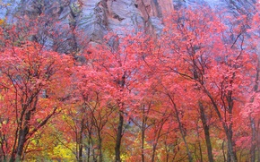 Wallpaper mountain, Zion National Park, trees, Utah, leaves, the crimson, rock, autumn, USA