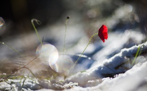 Picture flower, snow, red, Mac, petals