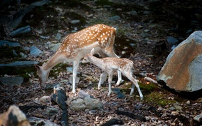Wallpaper nature, deer, Bambi with mom