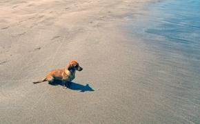 Picture beach, water, dog, sand, dachshund