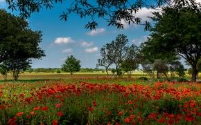 Wallpaper flowers, red, trees, Austin, field, Maki, summer, grass, Texas, USA