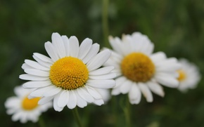 Picture chamomile, white, middle, yellow