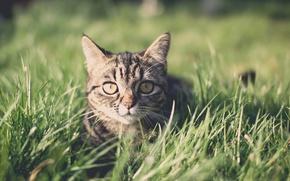 Picture field, grass, cat