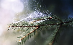 Picture drops, macro, nature, Rosa, spruce, web, branch