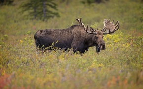 Picture horns, moose, elk