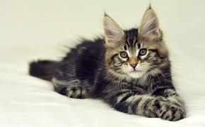 Picture cat, kitty, background, lies, Maine Coon, Maine Coon