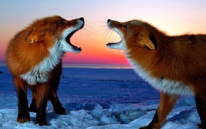 Picture PAIR, SNOW, WINTER, FOX, RED