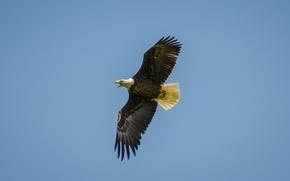 Picture bird, flight, Bald, Orlan