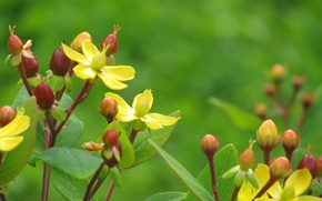 Picture leaves, flowers, yellow, plant, red berries