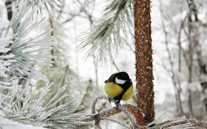 Picture winter, frost, forest, snow, titmouse