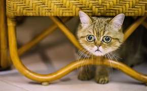 Picture cat, cat, look, muzzle, eyes, exotic, Exotic Shorthair