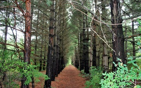 Picture trail, Forest, pine, forest, the ranks, path, pines